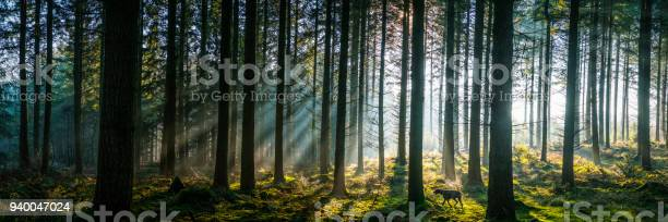 Sunlight streaming through misty pine forest woodland panorama at picture id940047024?b=1&k=6&m=940047024&s=612x612&h=imseby huzrucqfkk8mhwnuzokqvpffgjwf6jxwucjq=