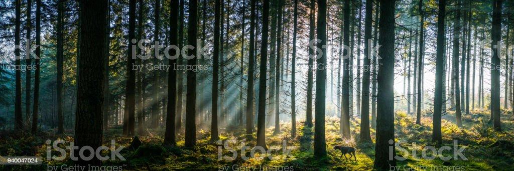 Sonnenlicht durchströmen nebligen Kiefer Wald Wald Panorama bei Sonnenaufgang – Foto