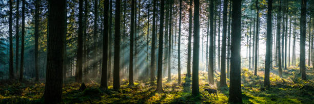 Sunlight streaming through misty pine forest woodland panorama at sunrise Golden beams of early morning sunlight streaming through the pine needles of a green forest to illuminate the soft mossy undergrowth in this idyllic woodland glade. glade stock pictures, royalty-free photos & images