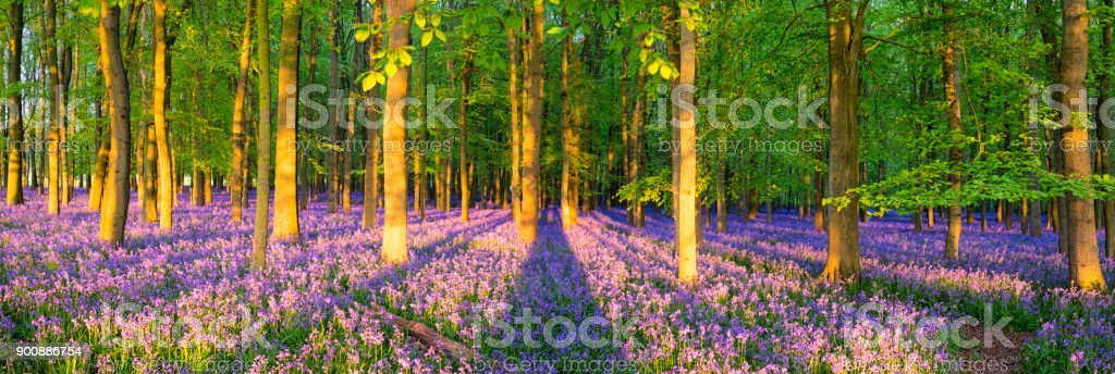 Sunlight Streaming Through The Bluebell Wood Sunlight streams through a bluebell wood in the English countryside. Woodland Stock Photo