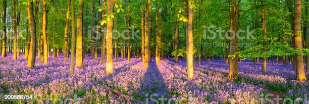 Sunlight Streaming Through The Bluebell Wood Stock Photo - Download Image Now
