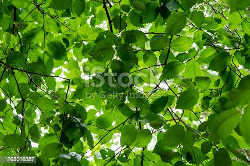 The underside of a canopy of bright green beech leaves with sunlight showing through.