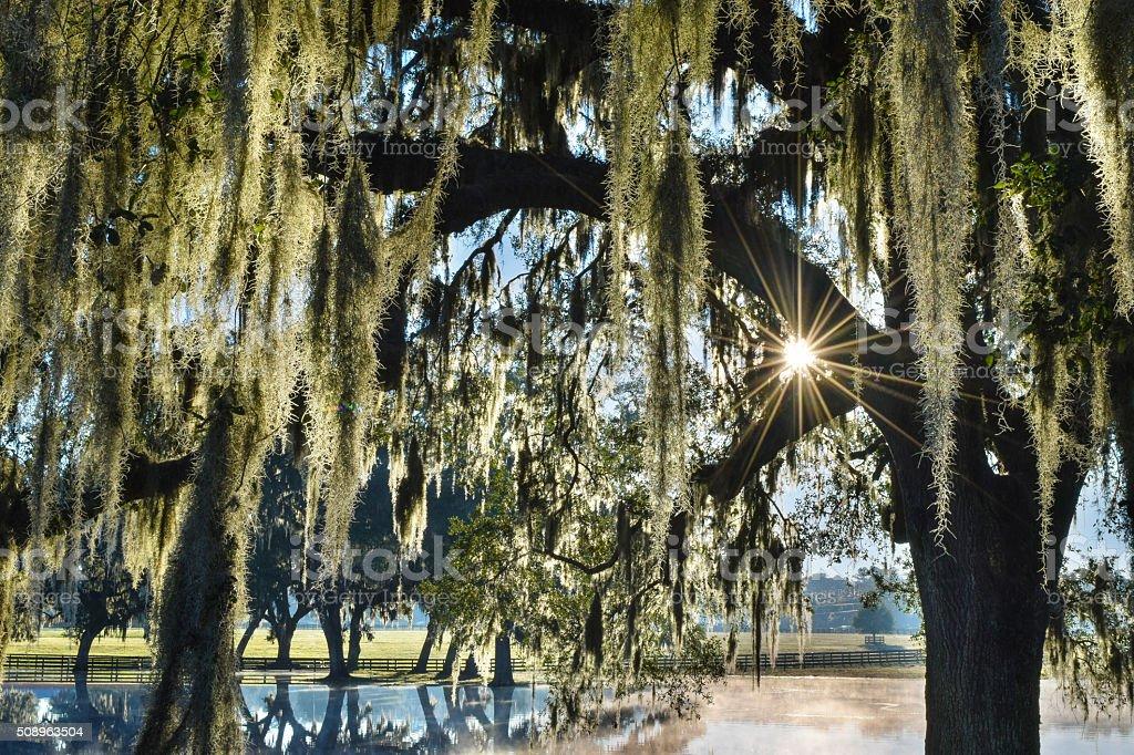 Sunlight through Oak Trees stock photo