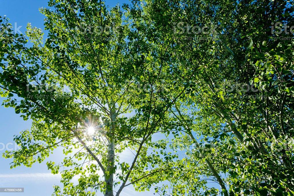Sunlight through quaking aspens. stock photo