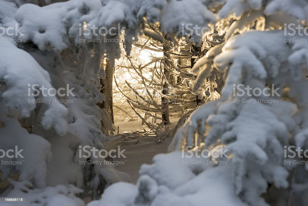 Sunlight through snowy forest on Roan Mountain royalty-free stock photo