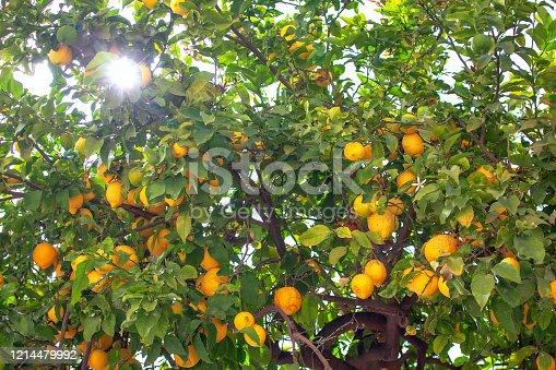 1145104190 istock photo sunlight through the branches of lemon tree 1214479992