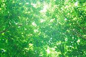 Sunlight through the fresh green leaves,green leaves background
