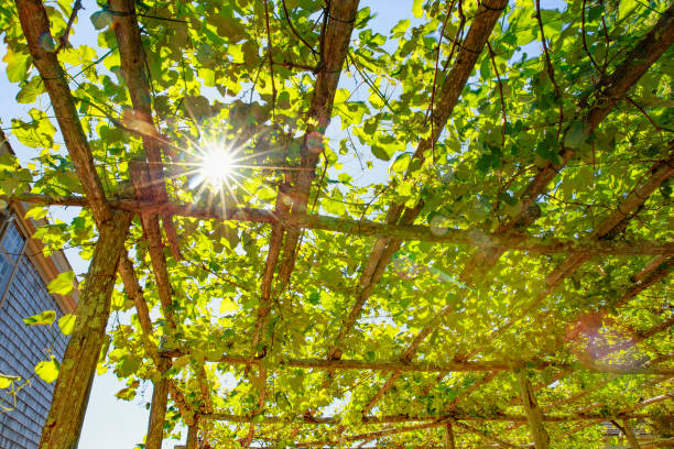 Sunlight through the grape leaves on the roof of the patio stock photo