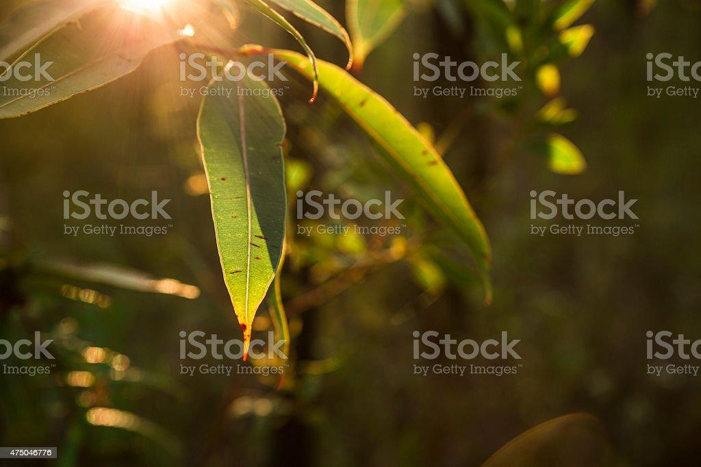sunlight through the gum leaves stock photo