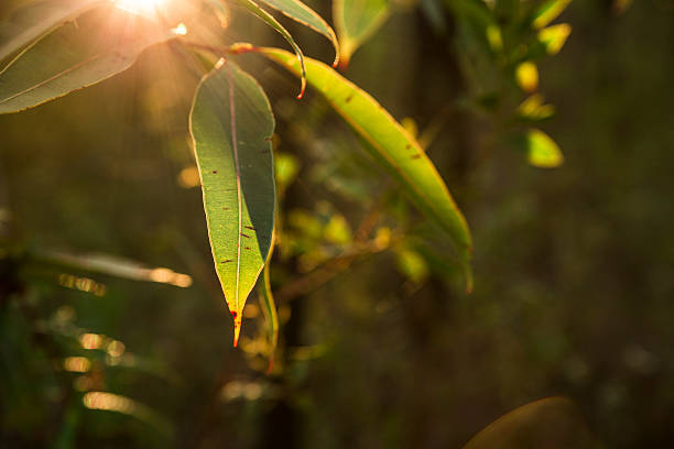 sunlight through the gum leaves stock photo