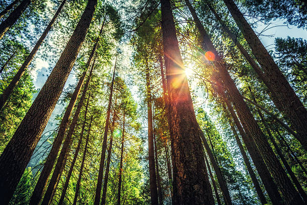 sunlight through the tall trees - naaldbos stockfoto's en -beelden