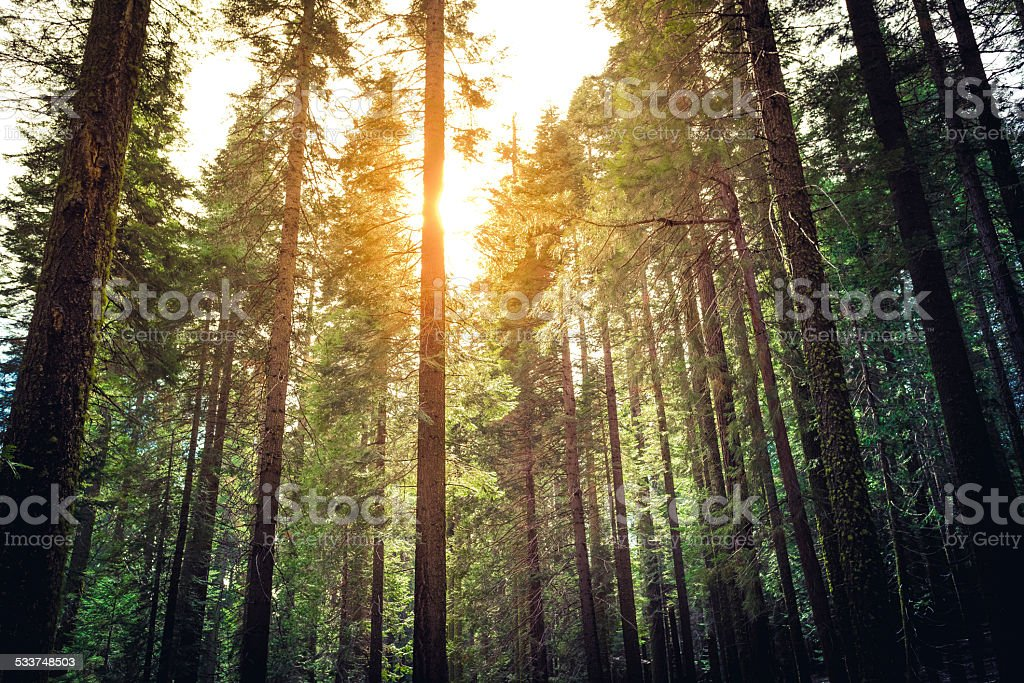 Sunlight Through the Tree Tops stock photo