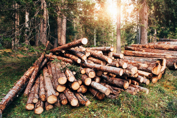 sunlight through the trees. freshly harvested wooden logs stacked in a pile in the green forest - industria forestale foto e immagini stock
