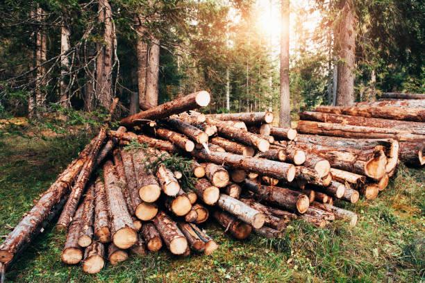 나무를 통해 햇빛. 녹색 숲 더미에 쌓인 갓 수확 한 나무 통나무 - 목재 공업 뉴스 사진 이미지