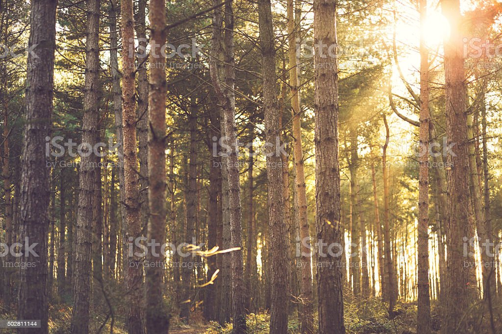 Sunlight through Trees in Evergreen forest - UK stock photo