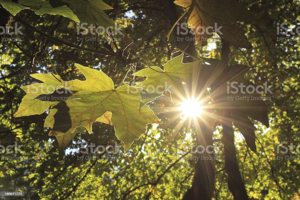 Sunlight Through Trees royalty-free stock photo