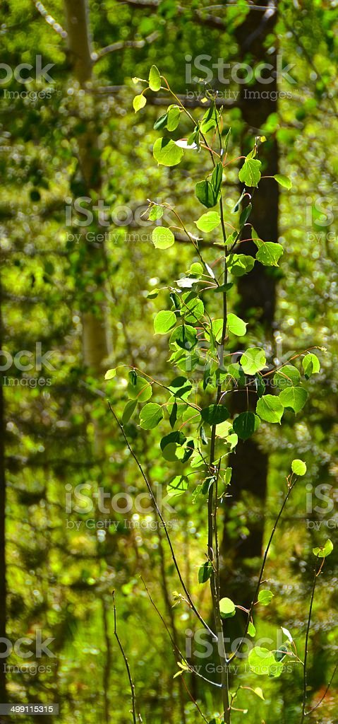 Sunlit Aspen Tree in the Pines stock photo