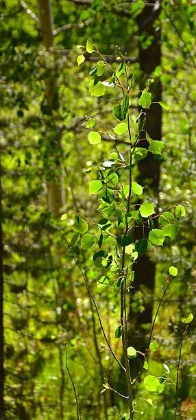 Sunlit Aspen Tree in the Pines stock photo