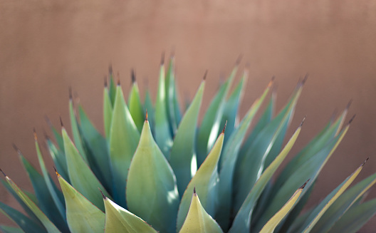 A spiky sunlit  blue agave (American aloe) plant against a brown (adobe) background. Shot in Santa Fe, NM.