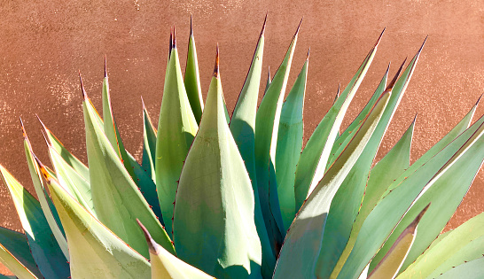 A spiky blue agave (American aloe) plant against an orange background. A bit of copy space available.