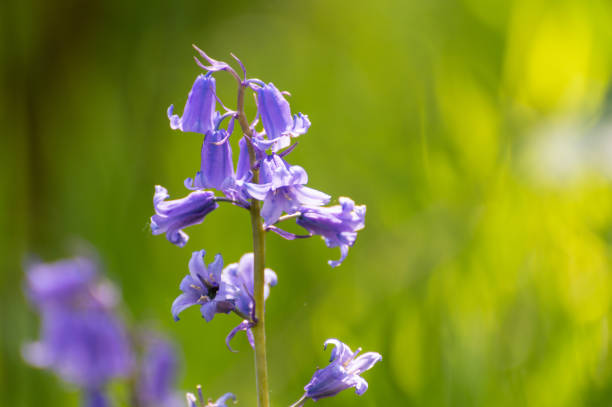 Sunlit Bluebells with a shallow depth of field Brightly colored sunlit purple bluebell flowers against a natural green background, using a shallow depth of field. bluebell stock pictures, royalty-free photos & images