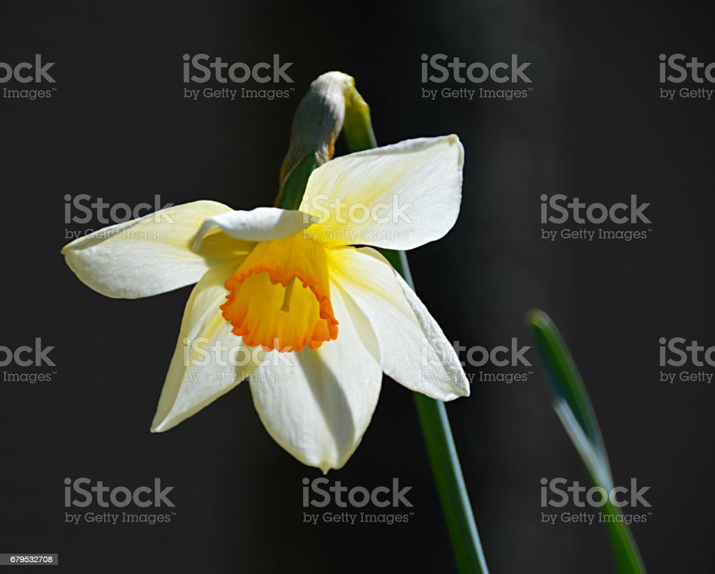 Sunlit Daffodil royalty-free stock photo