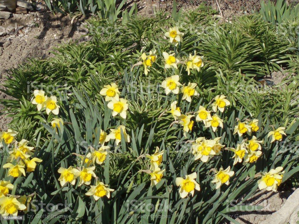 Sunlit daffodils & grass. 'Topolino' narcissuses. stock photo