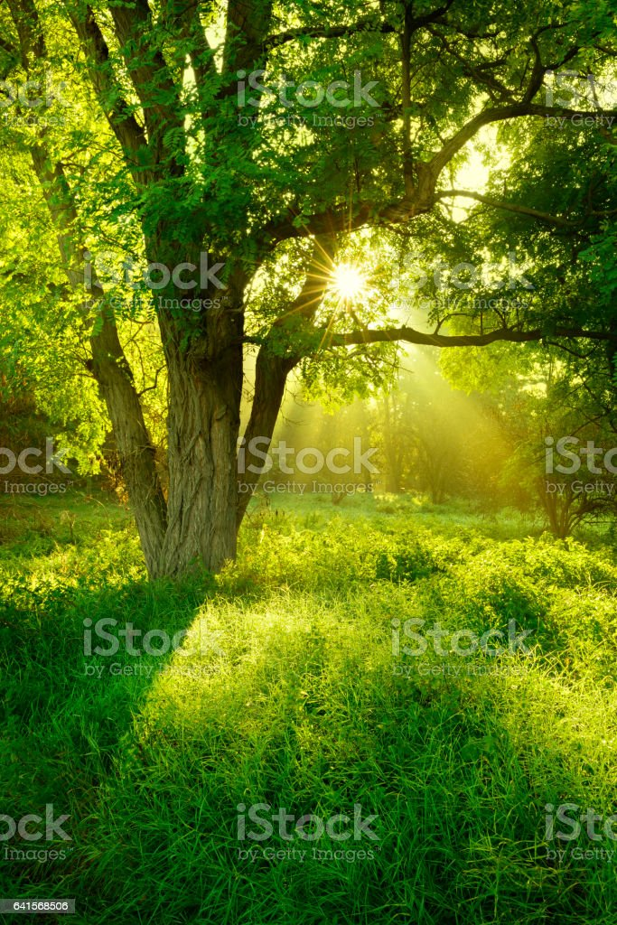 Sunlit Foggy Forest with Black Locust Tree on Clearing stock photo