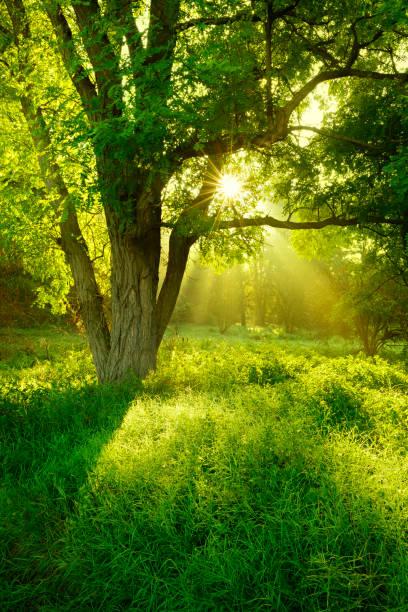 Sonnendurchflutetes nebligen Wald mit Robinie Baum auf Clearing – Foto