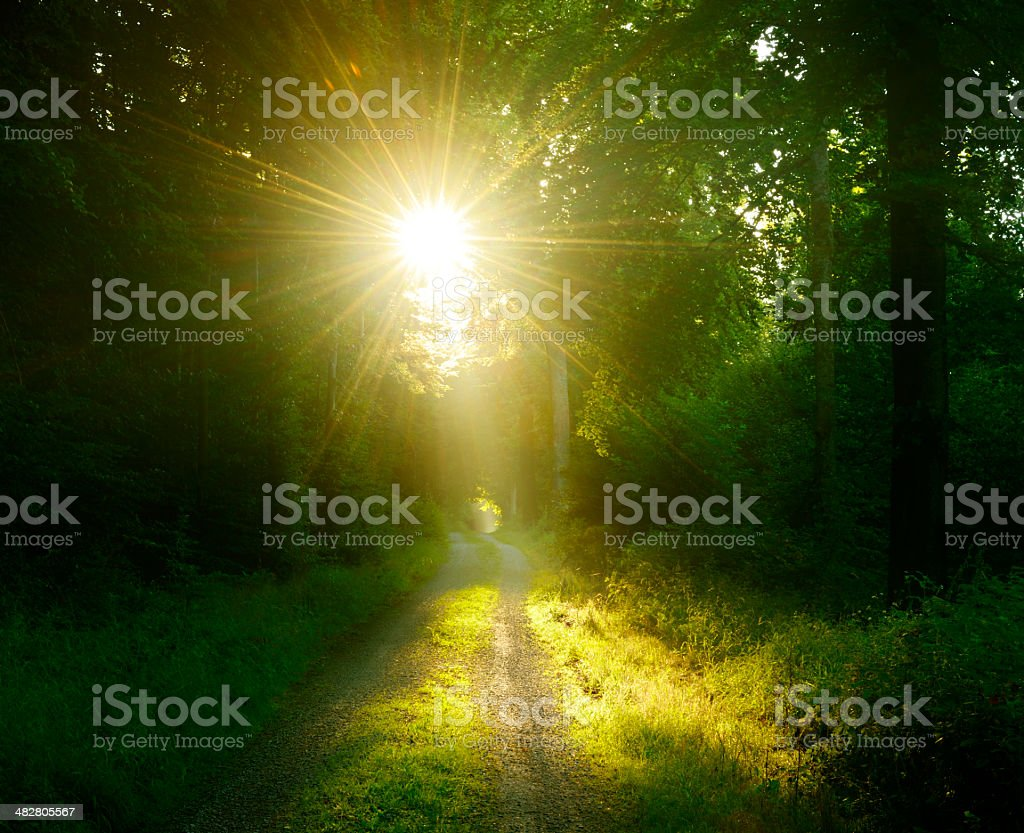 Sunlit Footpath through Dark Deciduous Tree Forest royalty-free stock photo