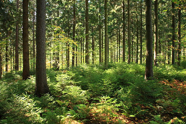 sunlit forest interior - herbebossing stockfoto's en -beelden