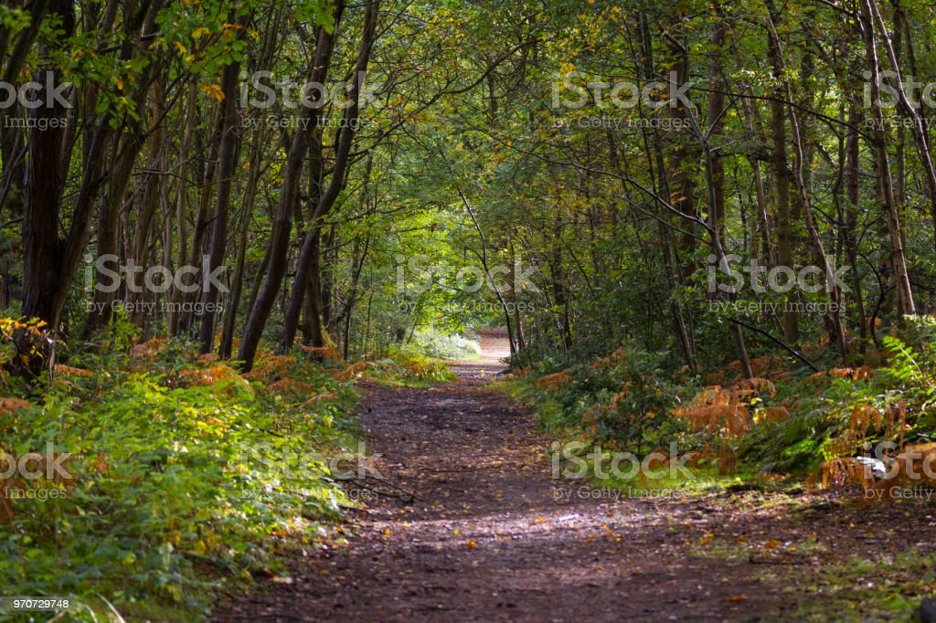 Sunlit forest path with big pine trees and bracken stock photo