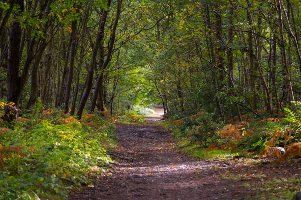 sunlit forest path with big pine trees and bracken - nature reserve stock photos and pictures