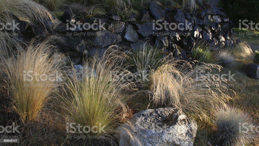Sunlit Fountain Grass royalty-free stock photo