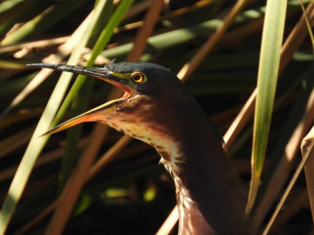 Sunlit green heron, calling, extreme close-up stock photo