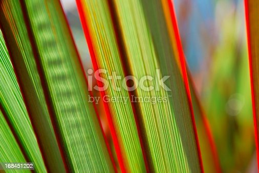 A close up of Harakeke lit up by the sun. This New Zealand Flax (Phormium) is 'Maori Queen'.