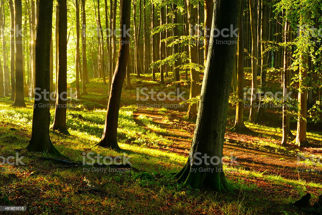 Sunlit Natural Beech Tree Forest in Summer stock photo