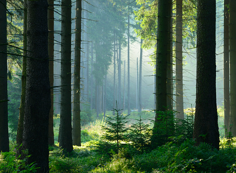 Sunlit Natural Spruce Tree Forest, Never Touched by Man