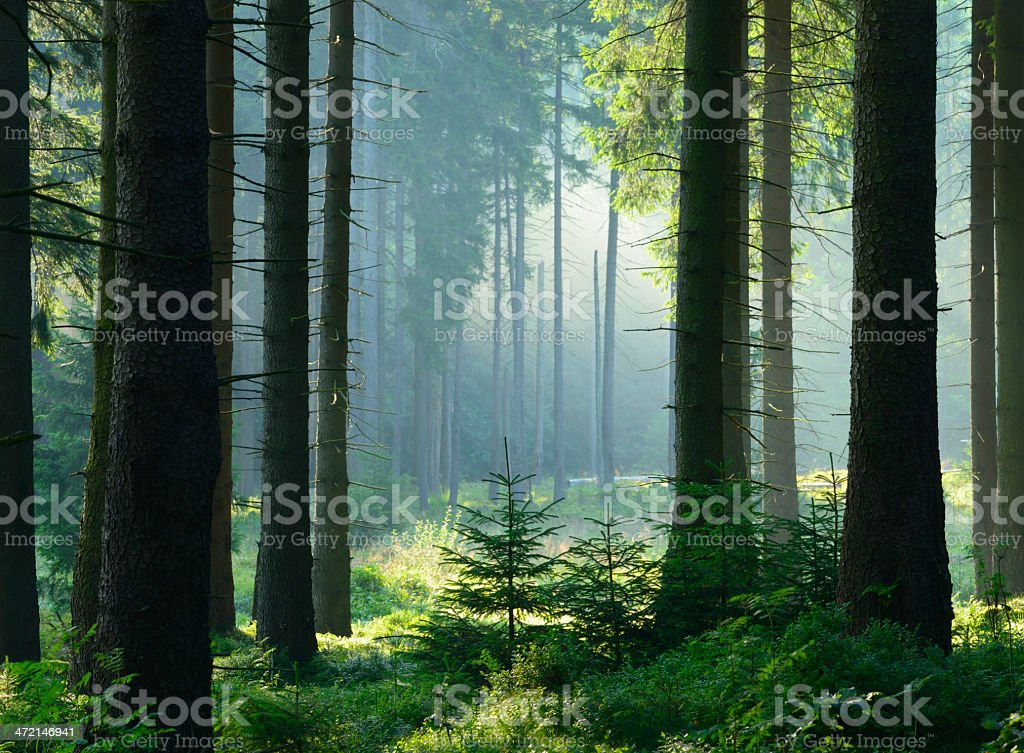 Sunlit Natural Spruce Tree Forest, Never Touched by Man stock photo