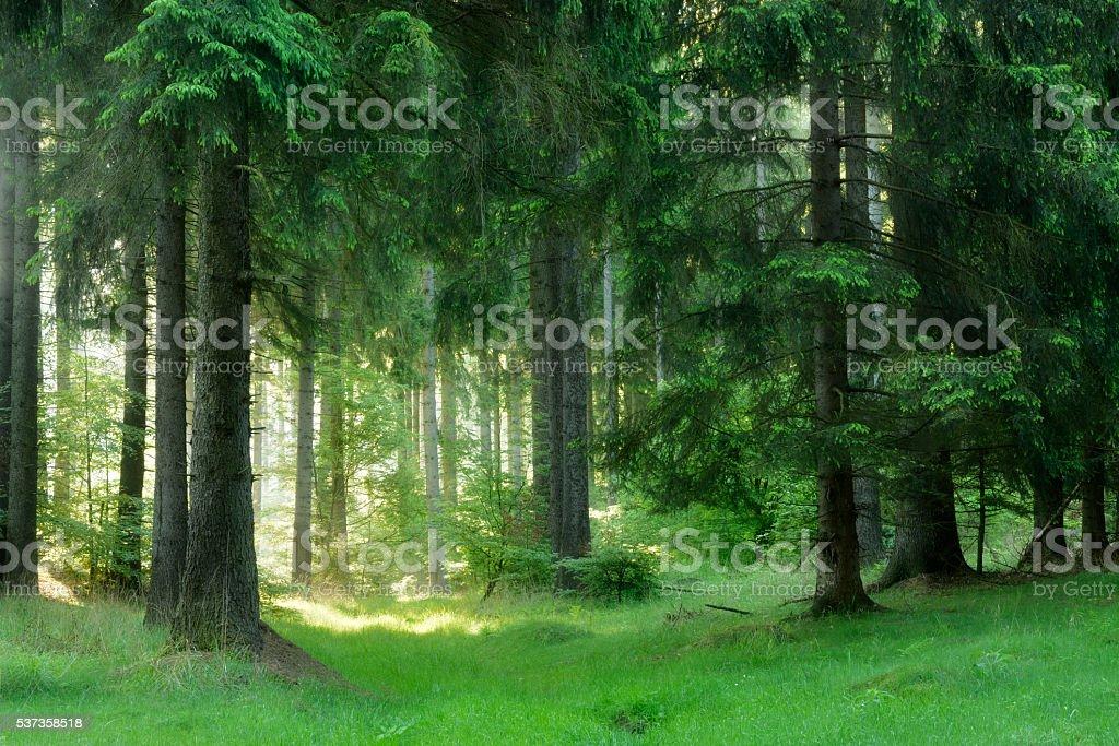 Sonnendurchflutete natürlichen Fichte Baum Wald – Foto
