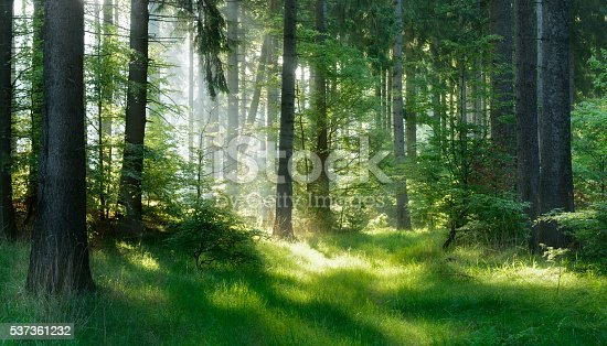 Sunlit Natural Spruce Tree Forest