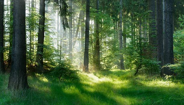 sunlit natural spruce tree forest - forest bildbanksfoton och bilder