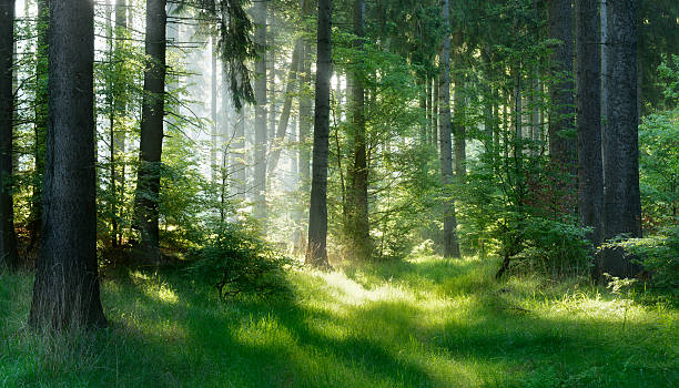 sunlit natural spruce tree forest - woud stockfoto's en -beelden