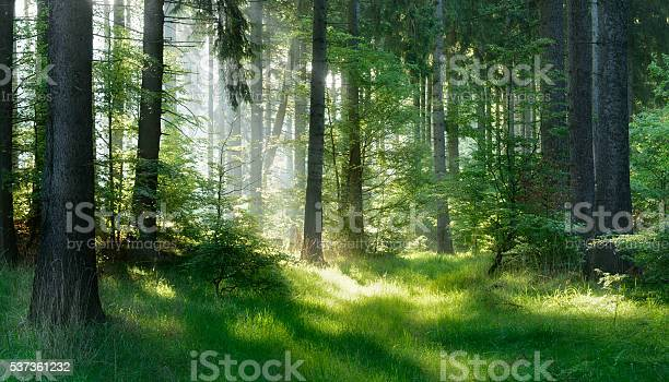 Photo of Sunlit Natural Spruce Tree Forest