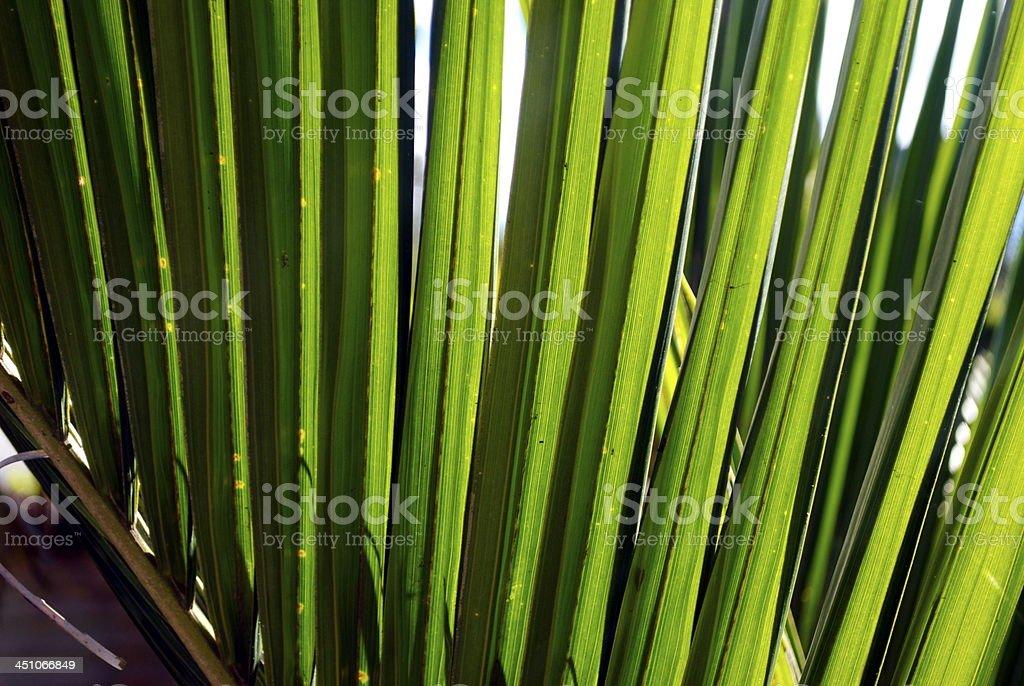 Sunlit Nikau (Rhopalostylis sapida) Palm, New Zealand stock photo