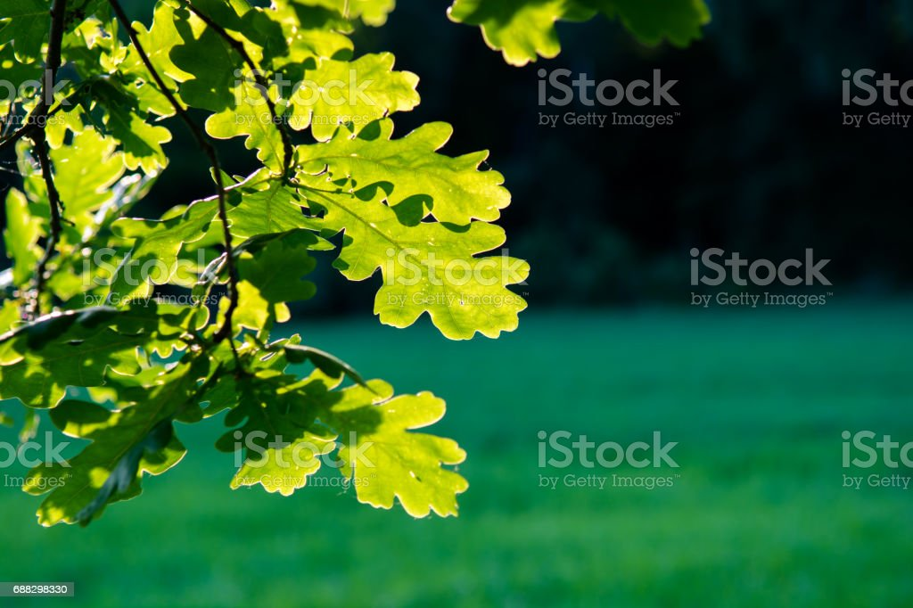 Sunlit Oak Leaves stock photo