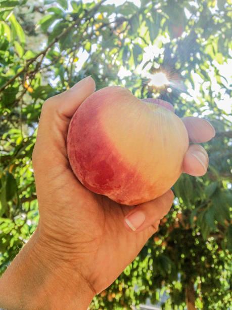 Sunlit Peach stock photo