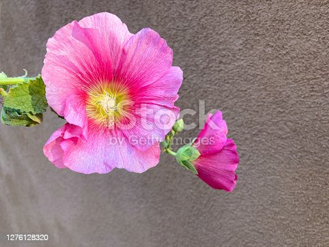A close-up shot of one sunlit stalk of a pink hollyhock against a dark brown adobe background. Copy space. Shot in Santa Fe, NM.