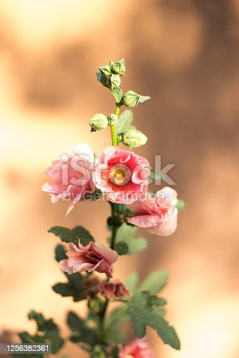 A close-up shot of one sunlit stalk of a pink hollyhock against a tan adobe background. Some copy space available.