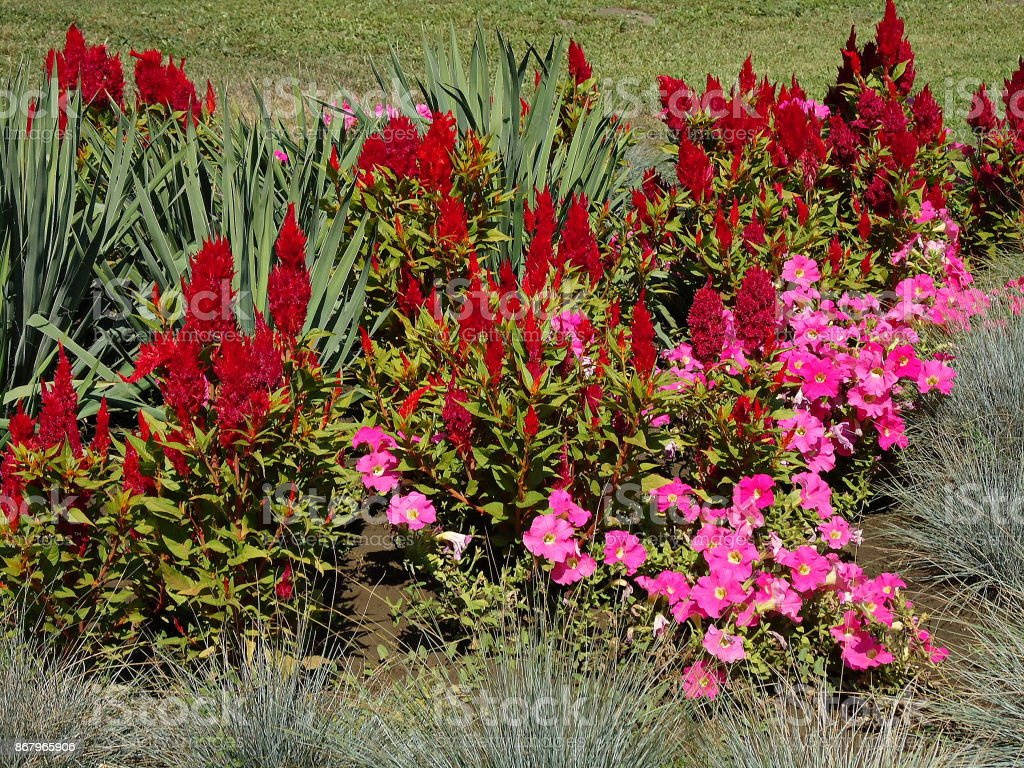 Sunlit red celosia plumosa & pink flowers on a lawn. stock photo
